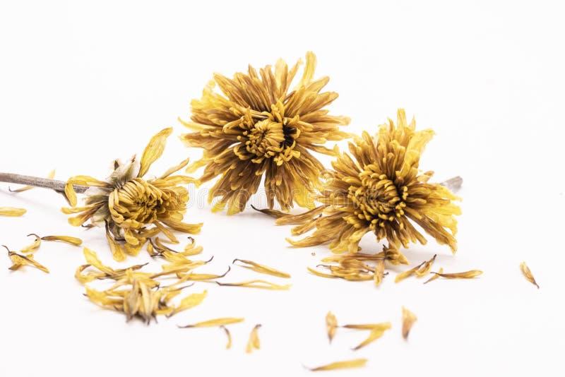 Fine del fuoco selettivo sul vecchio fiore giallo secco isolato su fondo bianco immagine stock libera da diritti