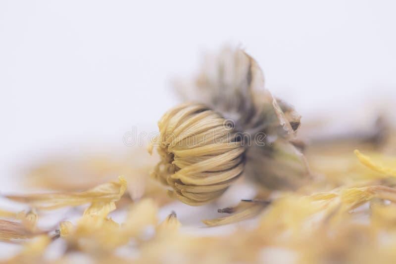 Fine del fuoco selettivo sul vecchio fiore giallo secco isolato su fondo bianco fotografia stock