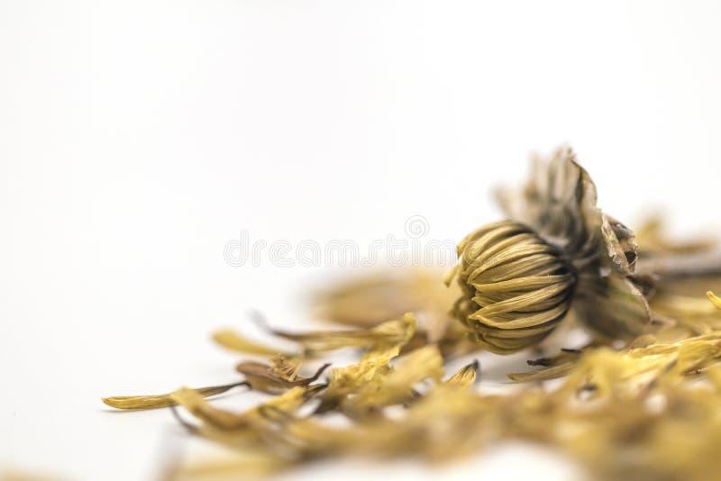 Fine del fuoco selettivo sul vecchio fiore giallo secco isolato su fondo bianco fotografie stock
