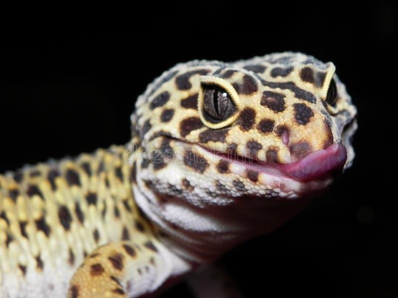Fine del geco del leopardo su con la lingua che attacca fuori fotografia stock libera da diritti