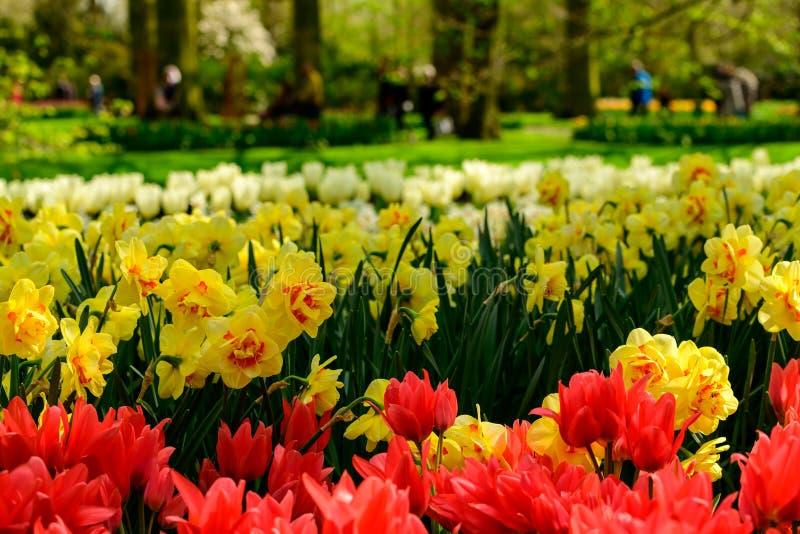 Fine del giacimento di fiori di Multicolours su in Olanda, fiori di tempo di molla in Keukenhof immagine stock libera da diritti