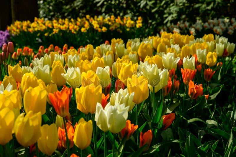 Fine del giacimento di fiori di Multicolours su in Olanda, fiori di tempo di molla in Keukenhof fotografia stock
