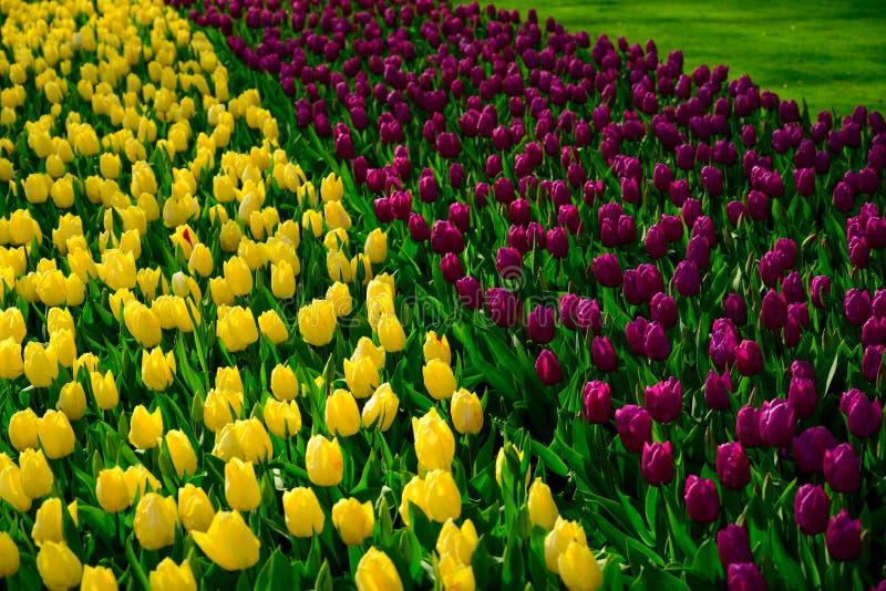 Fine del giacimento di fiori di Multicolours su in Olanda, fiori di tempo di molla in Keukenhof fotografie stock