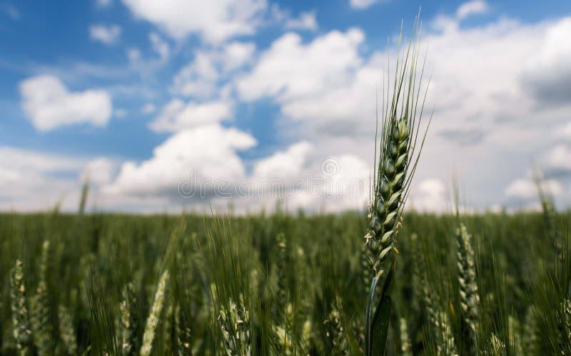 Fine del giacimento di grano su in un giorno nuvoloso fotografie stock libere da diritti