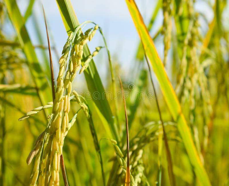 Fine del giacimento del riso su immagini stock libere da diritti