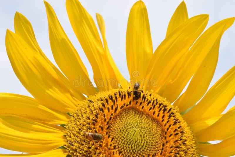 Fine del girasole su con i petali aperti e due api sui suoi semi immagini stock