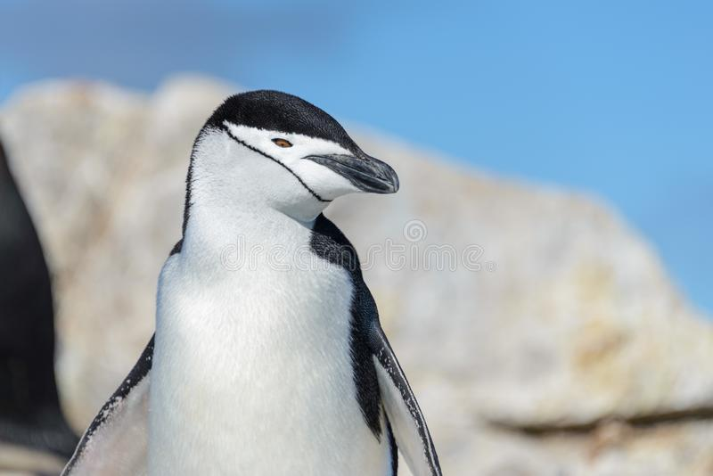 Fine del pinguino di sottogola su fotografia stock