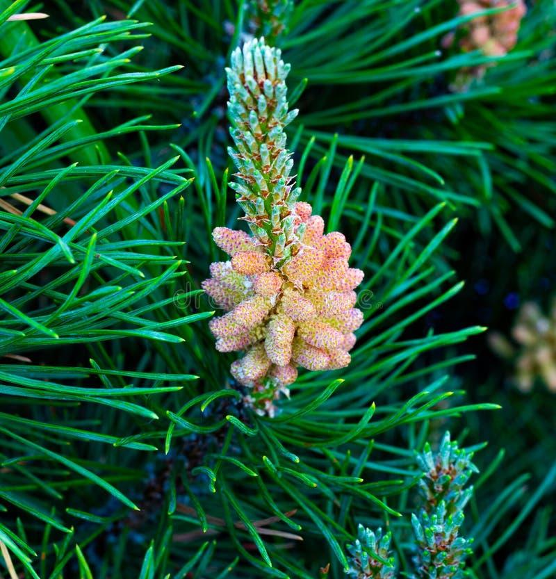 Fine del pino montano su, rami del pino con i giovani coni, conifere nell'architettura del pæsaggio nel giardino botanico fotografia stock libera da diritti