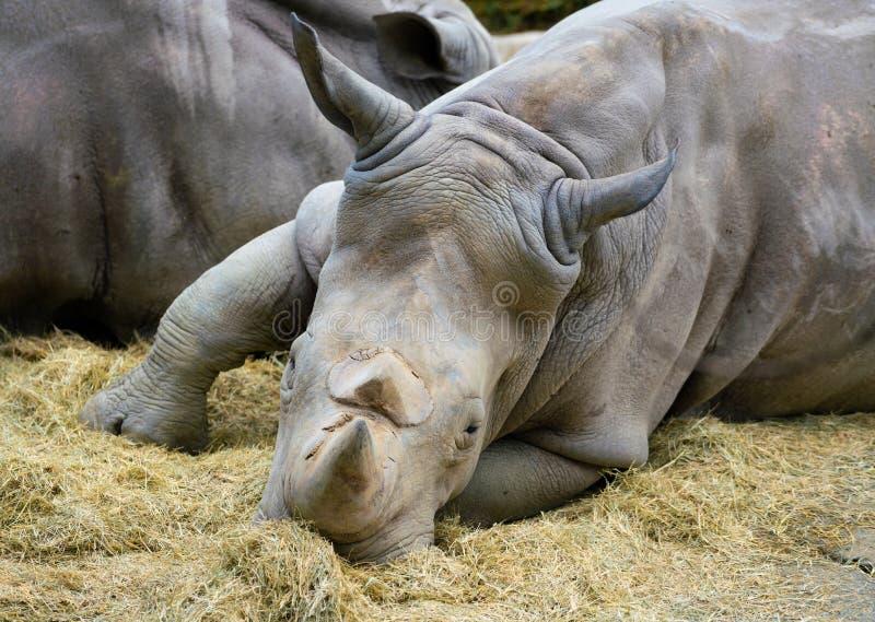 Fine del rinoceronte bianco sulla vista della testa e di due corni immagine stock