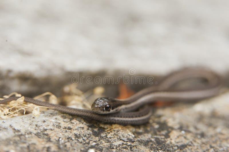 Fine del serpente di giarrettiera su sulla foglia fotografia stock