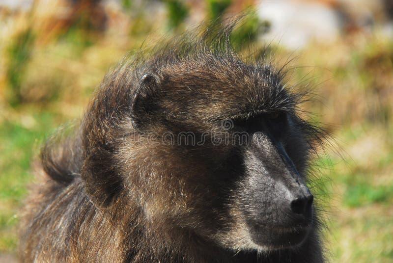 Fine dell'Africa su di grande fronte del babbuino fotografia stock