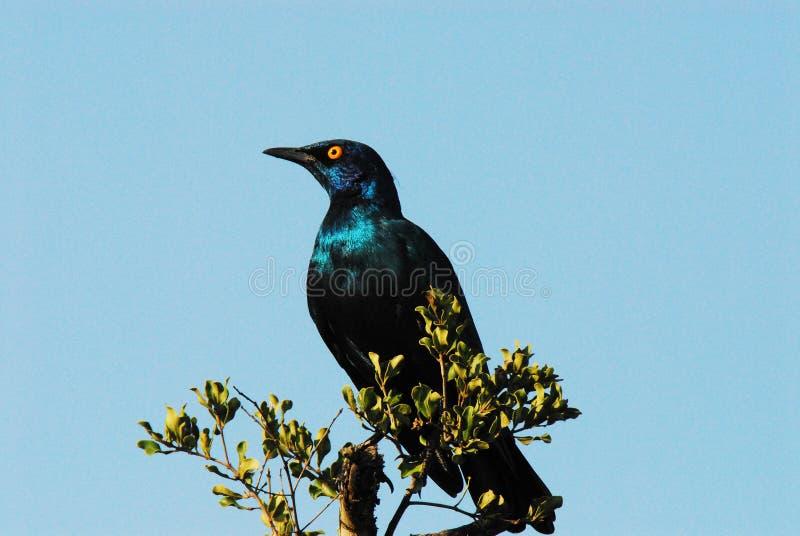Fine dell'Africa su di un capo Starling Against lucido un cielo blu fotografia stock libera da diritti