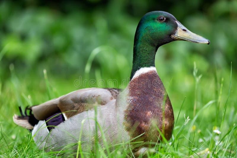 Fine dell'anatra di Mallard su su erba verde fotografie stock libere da diritti