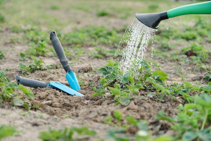 Fine dell'annaffiatoio del giardino sulle fragole d'innaffiatura, con gli attrezzi per bricolage per la coltivazione del suolo fotografie stock libere da diritti