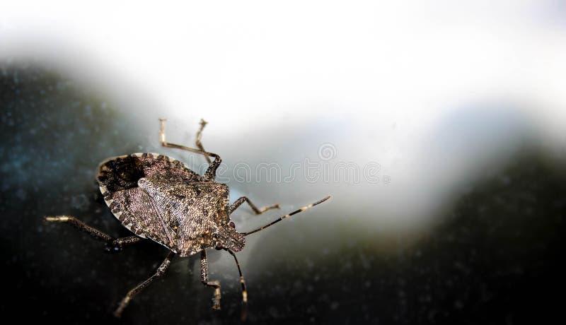 Fine dell'insetto di puzzo su fotografia stock libera da diritti