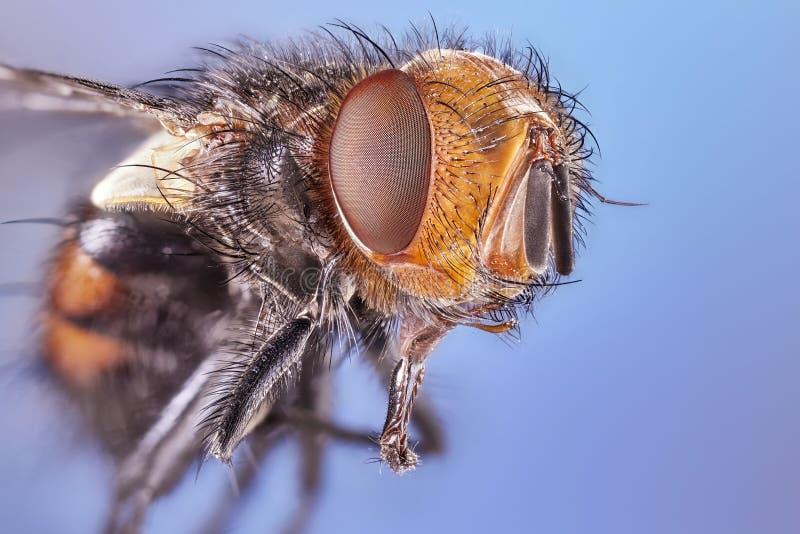 Fine dell'obiettivo macro sul colpo del dettaglio di una mosca comune della casa fotografia stock libera da diritti