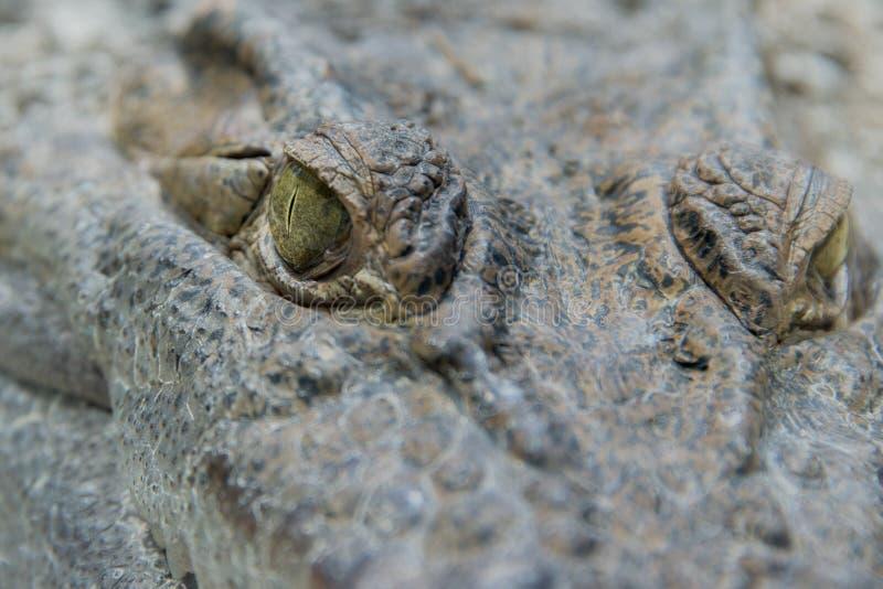 Fine dell'occhio dell'alligatore del coccodrillo su fotografie stock