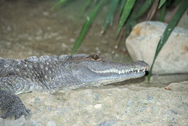 Fine dell'occhio dell'alligatore del coccodrillo su immagine stock libera da diritti