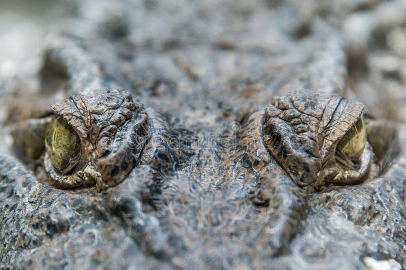 Fine dell'occhio dell'alligatore del coccodrillo su fotografie stock libere da diritti