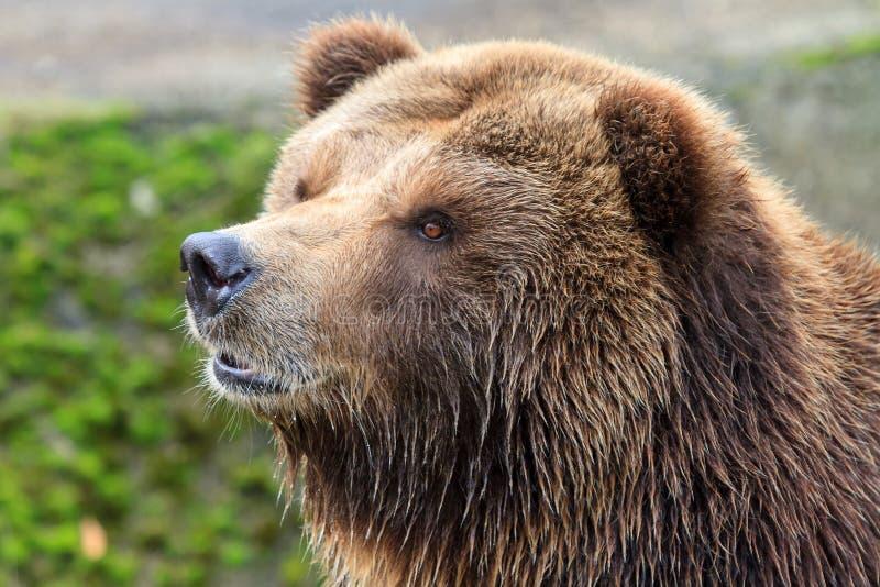 Fine dell'orso grigio del continente su immagini stock