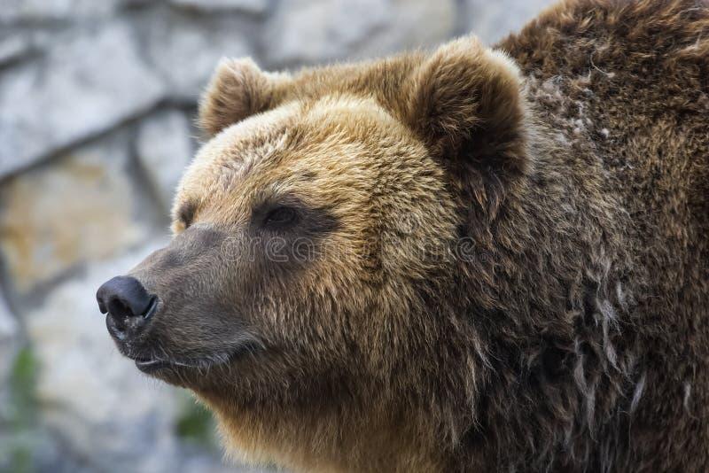 Fine dell'orso dell'orso grigio in su fotografia stock