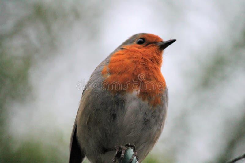 Fine dell'uccello del rosso-seno di Robin su fotografia stock