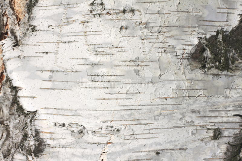 Fine della carta dello sfondo naturale di struttura della corteccia di betulla immagini stock