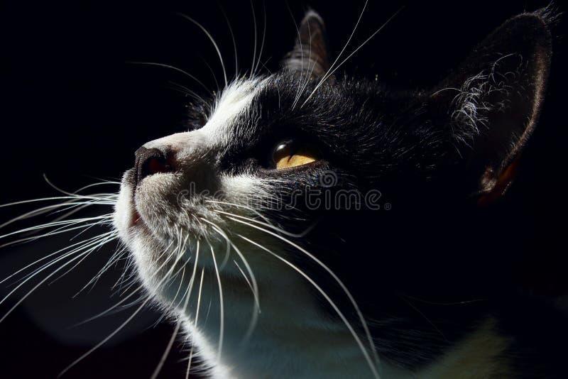 Fine della museruola del `s del gatto in su Cat Looking Up, fine su Gatto nero fotografia stock libera da diritti