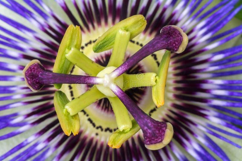 Fine della passiflora della passiflora su grande bello fiore immagine stock