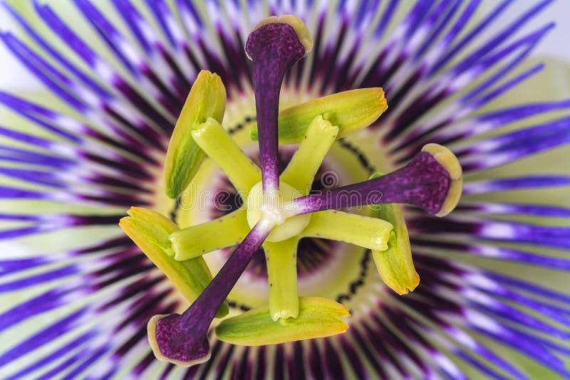 Fine della passiflora della passiflora su grande bello fiore fotografie stock