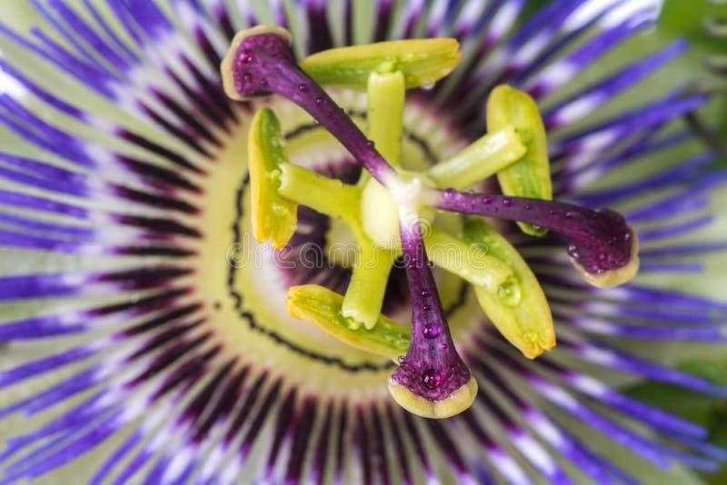 Fine della passiflora della passiflora su grande bello fiore immagini stock