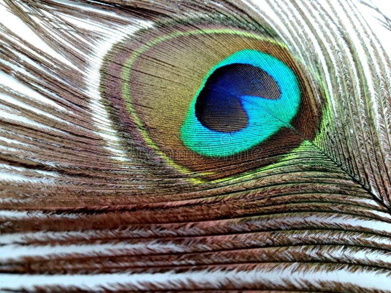 Fine della piuma del pavone su isolata su un fondo bianco fotografia stock libera da diritti