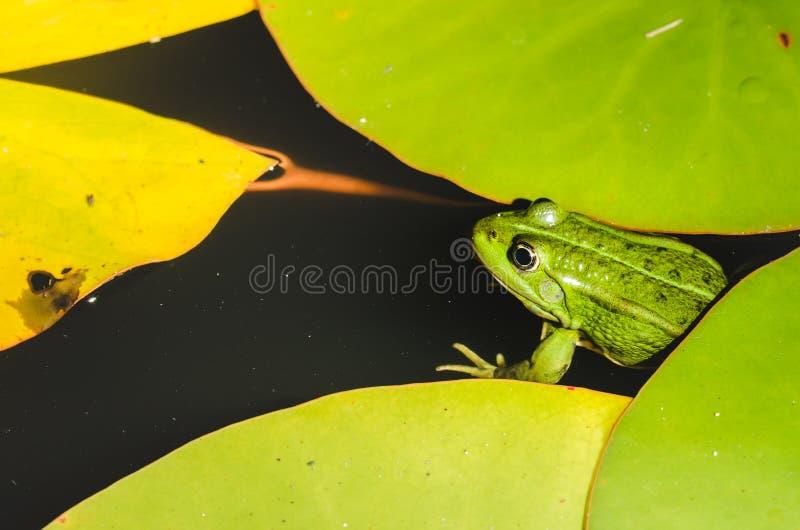 Fine della rana su in ninfee/rana vicina su in foglie verdi di una ninfea fotografia stock