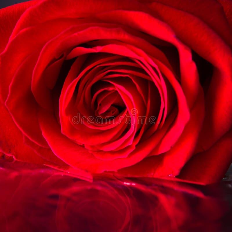 Fine della rosa di colore rosso in su fotografia stock libera da diritti