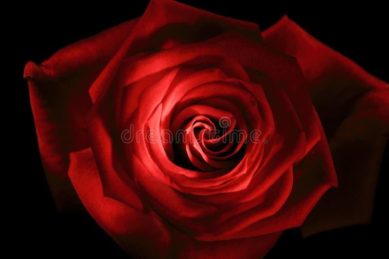 Fine della rosa di colore rosso in su verniciata con il bastoncino luminoso immagine stock libera da diritti