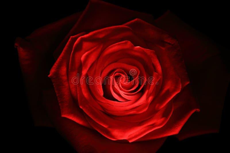 Fine della rosa di colore rosso in su verniciata con il bastoncino luminoso fotografia stock