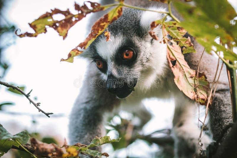 Fine delle lemure su nei cespugli fotografie stock libere da diritti