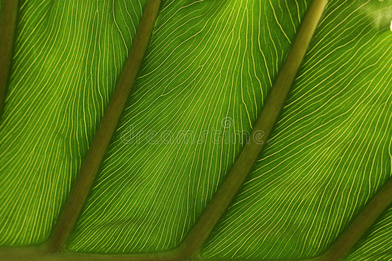 Fine detail of pattern in a leaf. Abstract detail of pattern in a green, exotic leaf landscape orientation with copy space royalty free stock images