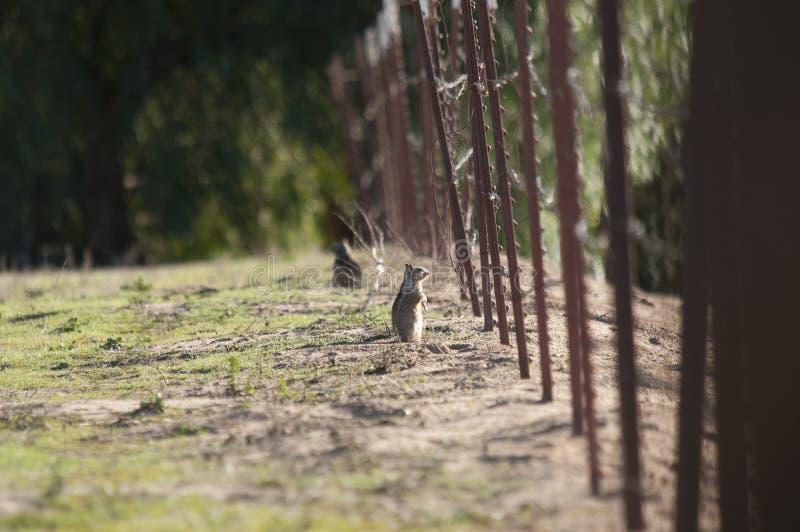 Fine di beecheyi di Otospermophilus dello scoiattolo a terra di California su immagini stock