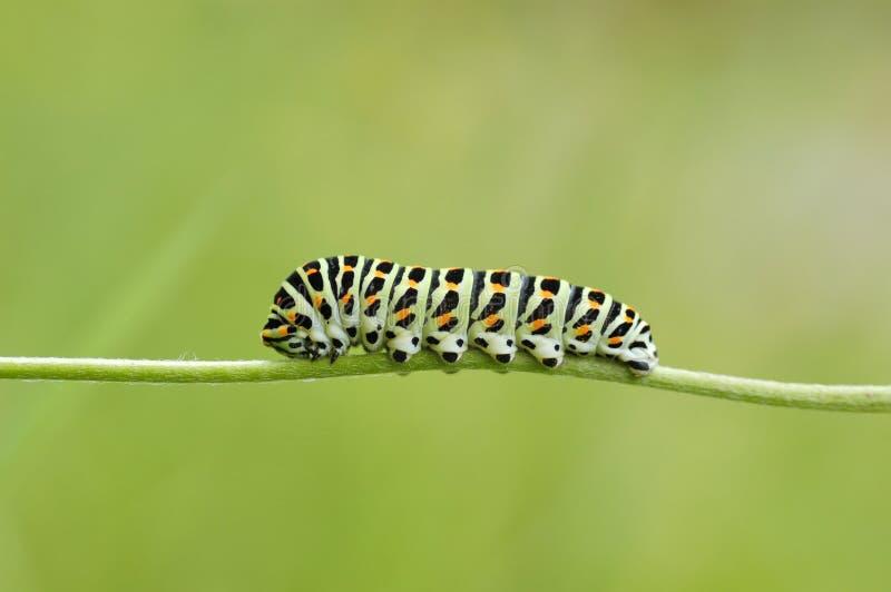 Fine di coda di rondine di Caterpillar su su un fondo verde fotografie stock