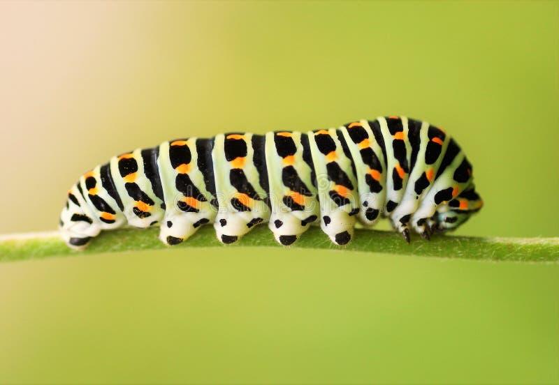 Fine di coda di rondine di Caterpillar su su un fondo verde fotografia stock libera da diritti