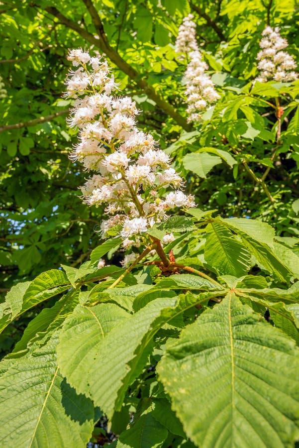 Fine di fioritura bianca del castagno su immagini stock libere da diritti