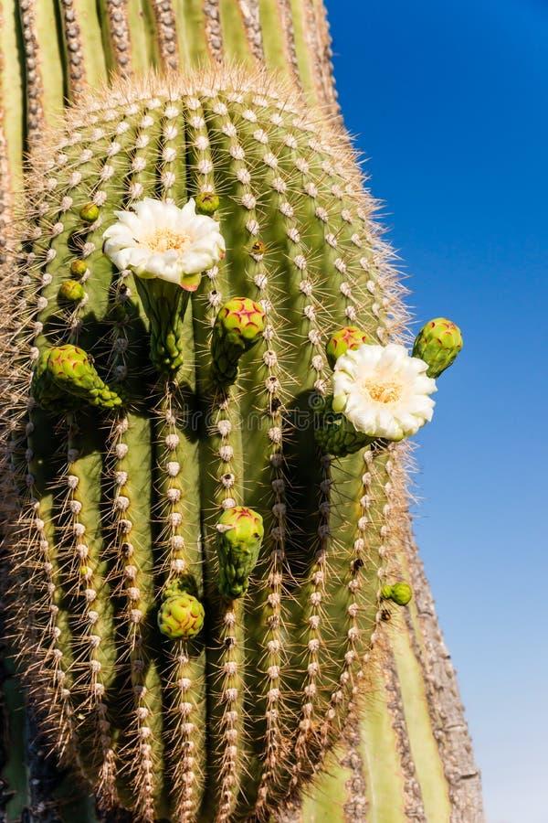 Fine di fioritura del cactus del saguaro su fotografie stock
