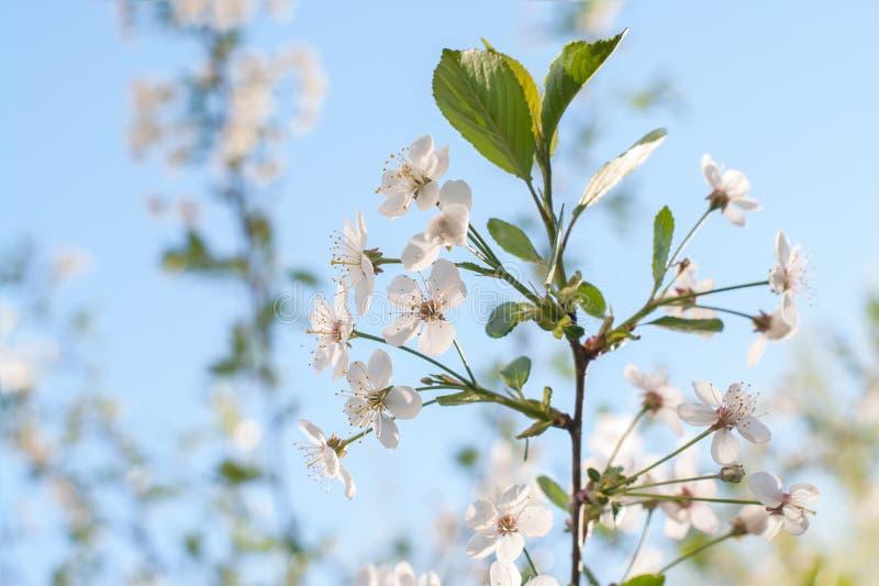 Fine di fioritura dell'albero della uccello-ciliegia su, fuoco molle La ciliegia di uccello fiorisce nel giorno soleggiato in pri immagini stock libere da diritti