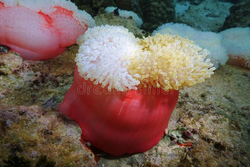 Fine di Heteractis Magnifica dell'anemone di mare sulla Tahiti immagine stock
