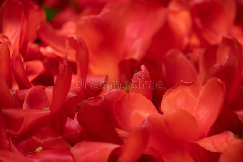 Fine di macro del tulipano sul colpo fotografia stock