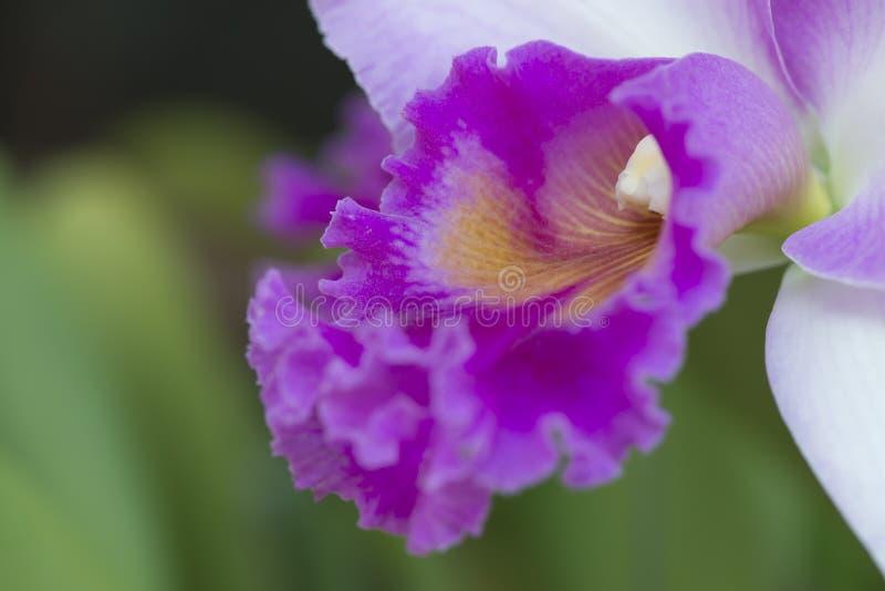 Fine di macro dell'orchidea di Cattleya su fotografia stock libera da diritti
