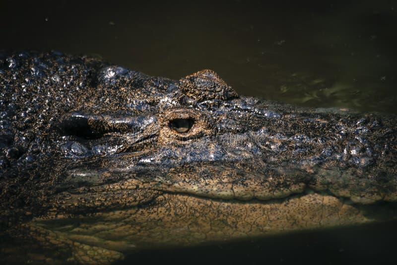 Fine di macro della fauna selvatica sulla vista della superficie approssimativa della pelle del coccodrillo strutturato fotografie stock libere da diritti