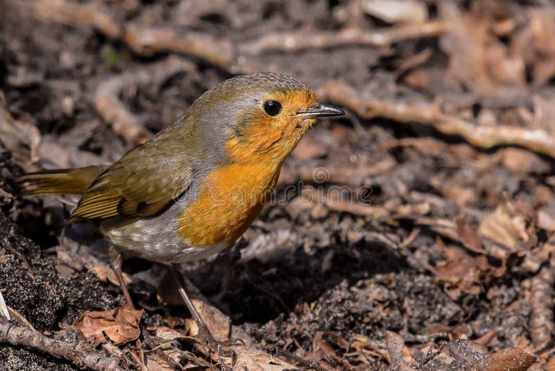 Fine di Robin in su immagini stock