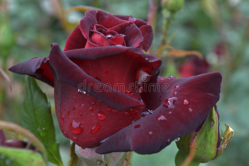 Fine di Rosebud su colore rosso scuro con la goccia di pioggia immagini stock